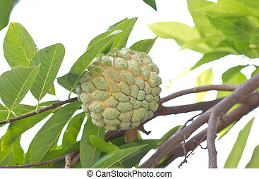 Custard apple fruit, Annona squamosa