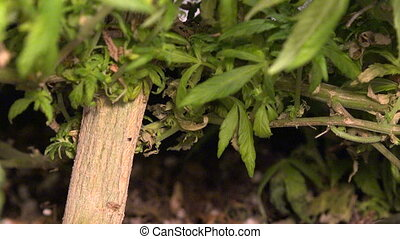 Marijuana Plant Big Stalk - Zoom O - A medical marijuana...