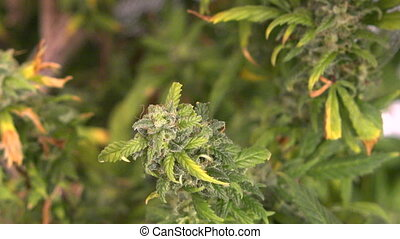 Marijuana Plant Small Bud-Zoom Out - A medical marijuana...