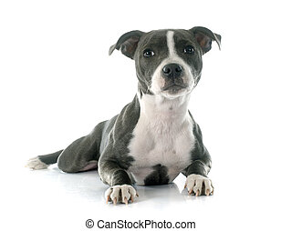 puppy staffordshire bull terrier in front of white...