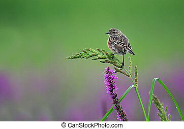 Common stonechat - Photo of common stonechat standing on a...