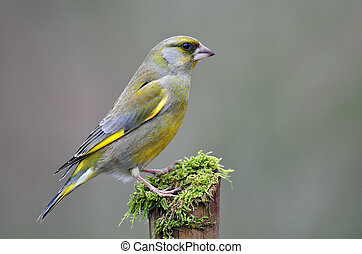 Greenfinch - Photo of greenfinch standing on a stump