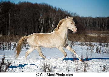 Beautiful shining perlino akhal-teke stallion in snow