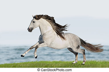 White Andalusian horse Pura Raza Espanola runs gallop in...
