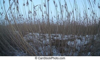 man walking in the snow and dry high grass, wildlife travel...