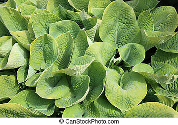 Hosta also known as plantain lillie are a spring and summer...