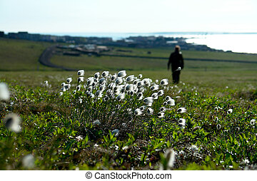 Cotton grass on the tundra of Chukotka - Cotton grass...