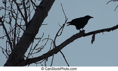 Crow Silohette Eating A Rat - A clever crow in the tree...
