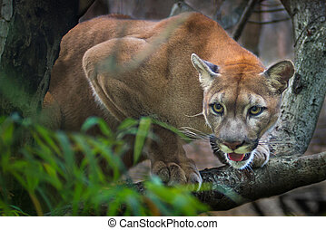 Mountain lion; puma prey on the staring twigs of the forest