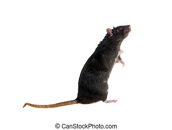 standing black rat - Portrait of a standing black rat on a...