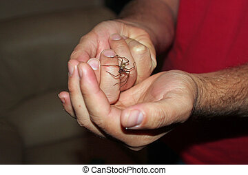 House spider - Man's hands holding a house spider...