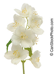 Hoary Mock Orange (Philadelphus Pubescens) Flowers Isolated...