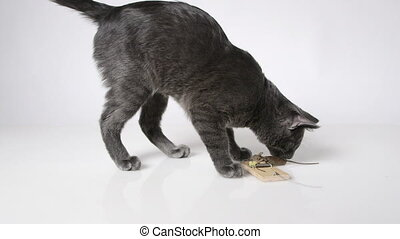 Young domestic cat playing with mouse trapped in a mousetrap