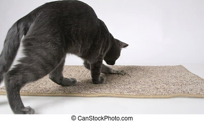 Young cat mouser plays with dead mouse at home