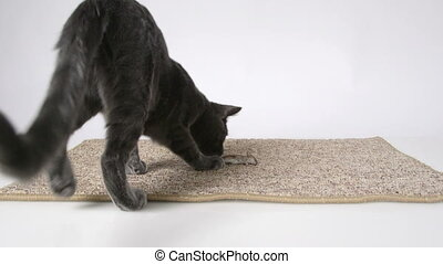 Young domestic cat mouser bringing home dead prey mouse
