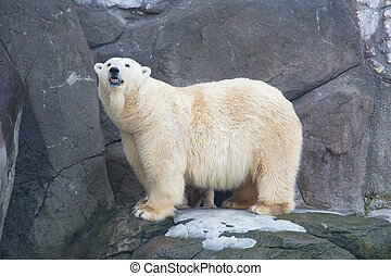 adult white she-bear to stand on stones