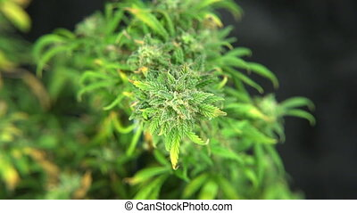 Marijuana Plant Flower Bud-Zoom In - A medical marijuana...
