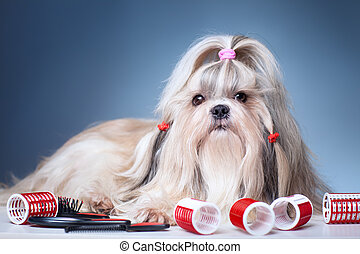 Shih tzu dog with red curlers grooming on blue background