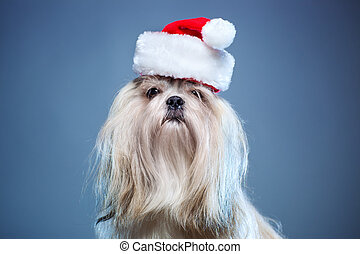 Shih tzu dog in santa hat on blue background.