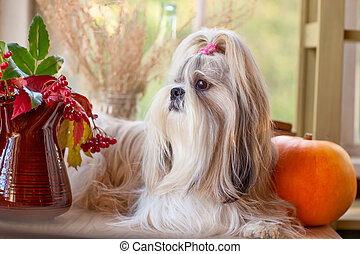 Shih tzu dog with pumpkin and plants.