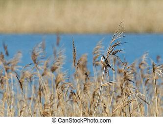 Bearded Tit Male - Small shy bird Male Bearded Tit or...