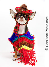 Mexican Chiwawa . - Mexican Chiwawa with poncho and...