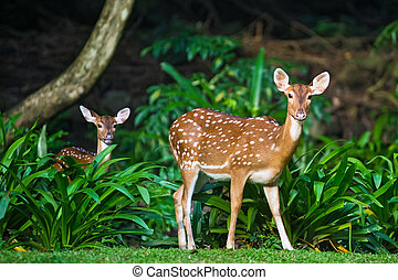 Sika deer - Two sika deer on a background of forest shadows.