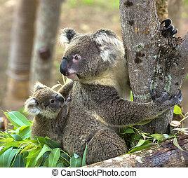 Koala, oso, en, el, zoo,