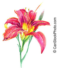 Watercolor with lily on a white bac