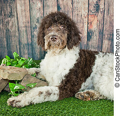 Standard Poodle laying in the grass with a wood fence behind...