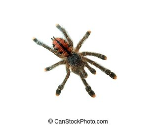 Tarantula isolated on white (Avicularia Metallica)