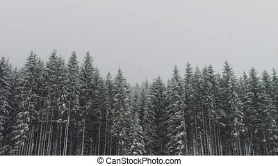 Strong snow comes on the background of Christmas trees -...