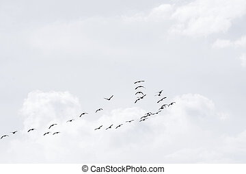 Flock of wild geese - A flock of wild geese flying in good...