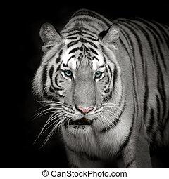 Tiger - White tiger Roaring