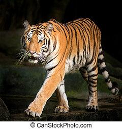 Tiger Stalking evening