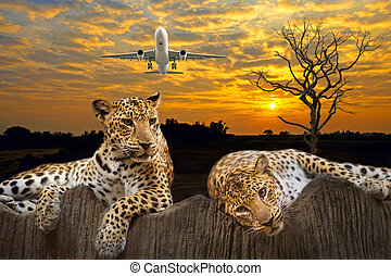 Leopard - Two leopard sitting and lying on the stones at the...