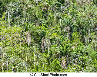 trees in the jungle in south america, Equador