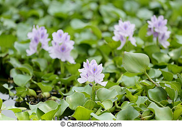 Flower of water hyacinth. - Flower of water hyacinth in the...