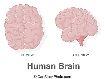 Human Brain in Top View and Side Vi