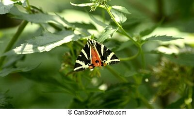 Jersey Tiger, Euplagia quadripunctaria, butterfly on a plant...