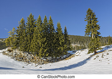 Fir trees clump - Serene winter landscape with an isolated...
