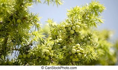 Juniper berries, green berries at the bush and ripe, black...