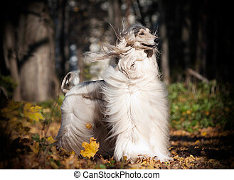 Afghan Hound autumn outdoors
