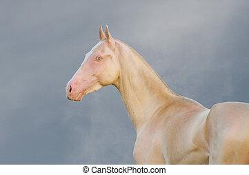 Portrait of perlino Akhal-Teke stallion in field