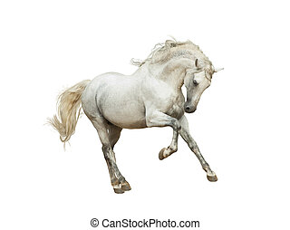 White andalusian horse isolated on white