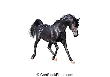 black arabian horse isolated on white