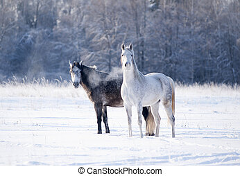 two grey horses in winter time