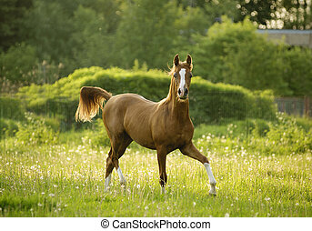 arabian colt trotting in evening meadow