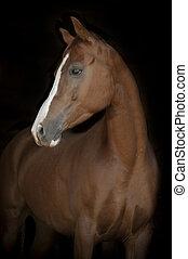 Chestnut horse on black
