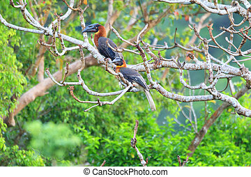 Rufous Hornbill (Buceros hydrocorax) in Luzon, Philippines